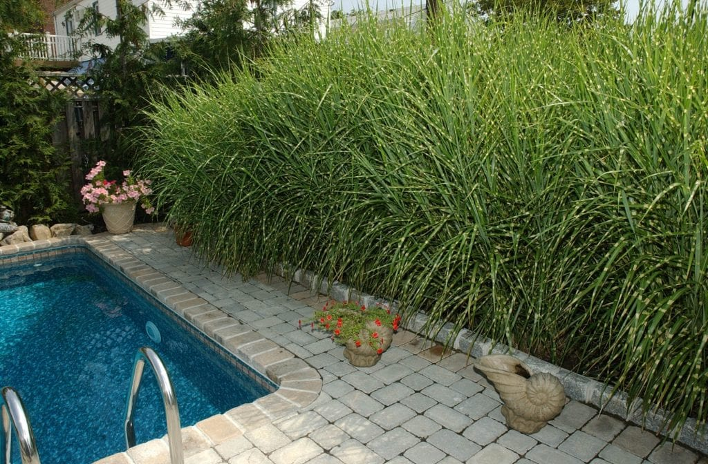 ornamental grass around the pool